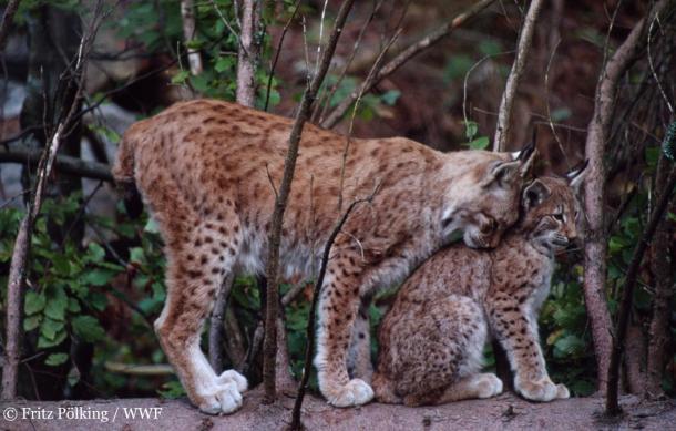 Une course pour protéger le lynx boréal